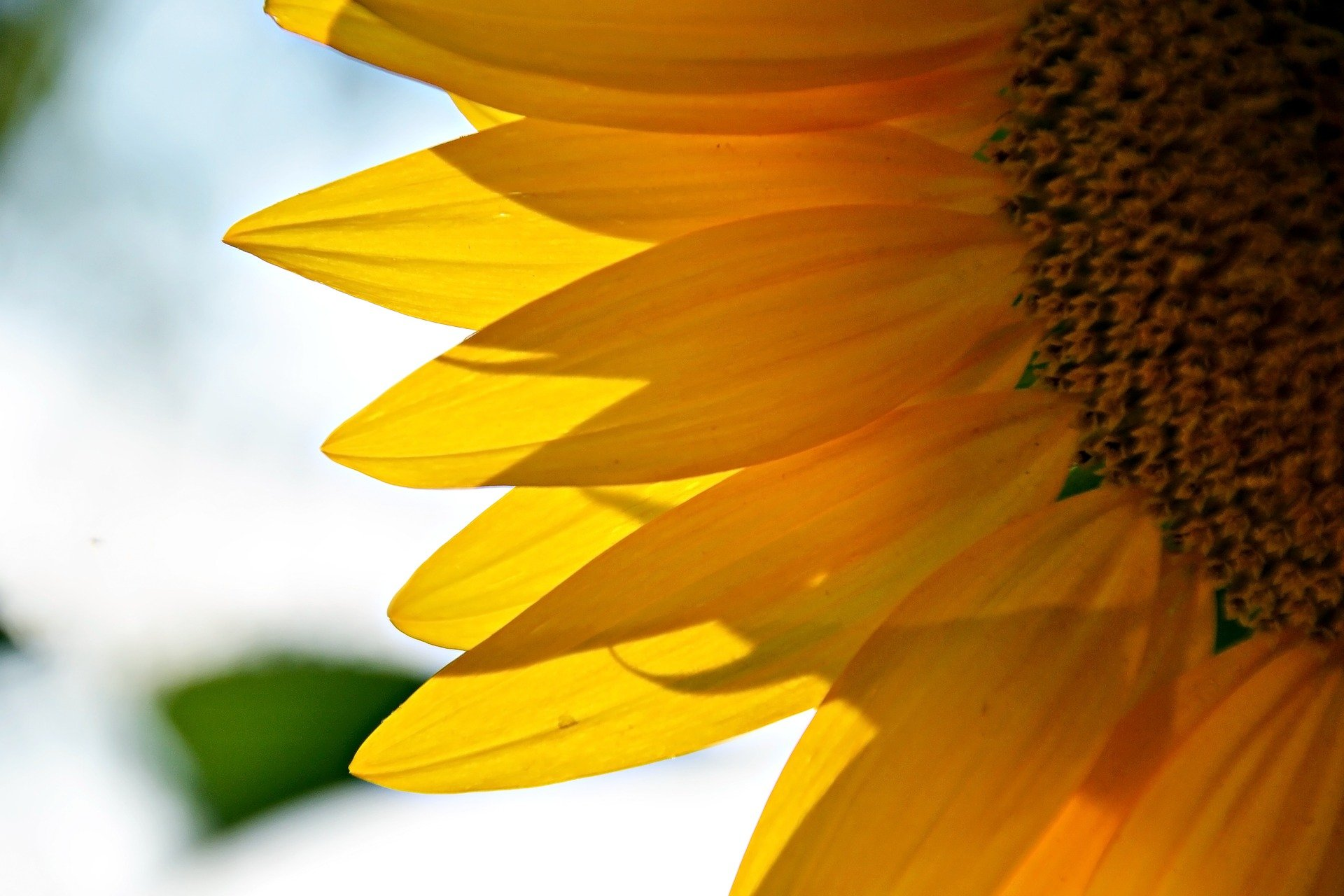Natural Sunflower Essential Oils